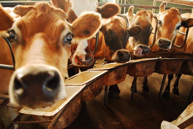 dairy farm