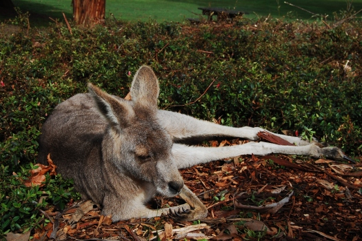 This kangaroo was so chill!