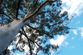 I love the enormous eucalyptus trees