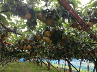 Nashi orchard! Yum!