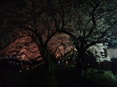 Cherry blossom viewing at night in Kyoto